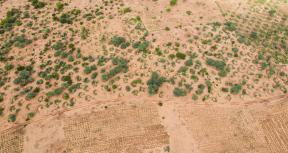 View of the Fada Great Green Wall site, showing millet farms in the middle of acacia plantations. Credit: Nick Parisse, Dawning